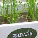 バルコニーでお米を作れる!?【送料無料】楽しい稲作体験キット 箱田んぼ